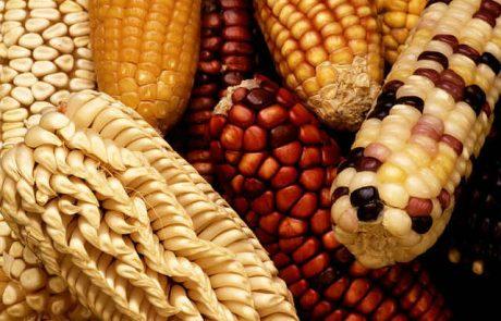 מפגש אוגוסט – מזון מהונדס גנטית
