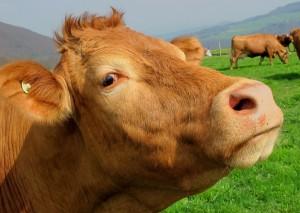 פרה או חסה - הפורום הישראלי לתזונה בת קיימא